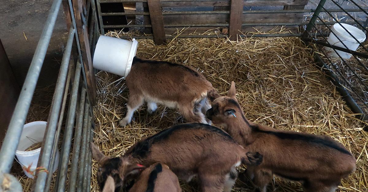 Ziegen toben im Stall
