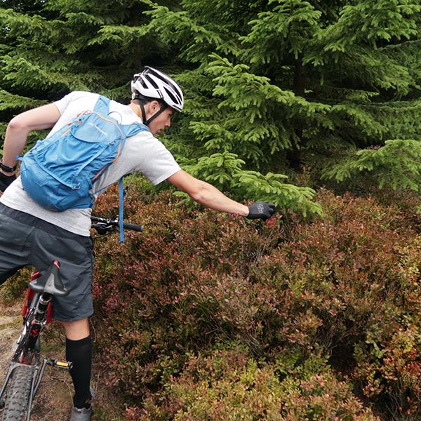 Ein Mountainbiker pflückt Blaubeeren