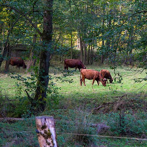Braune Kühe auf einer Weide am Harzer Dampfloksteig
