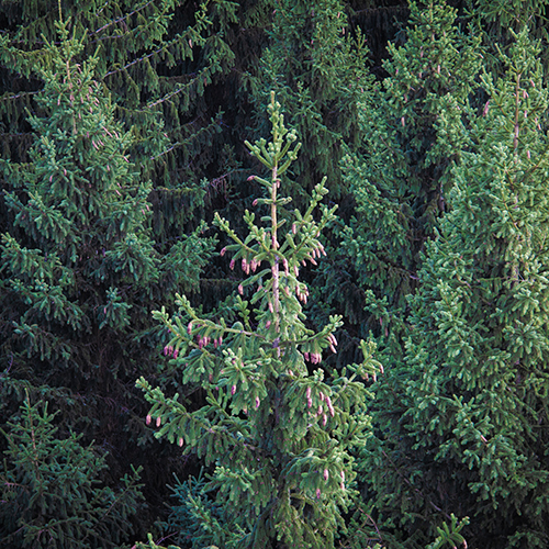Nadelbäume vom Poppenbergturm fotografiert